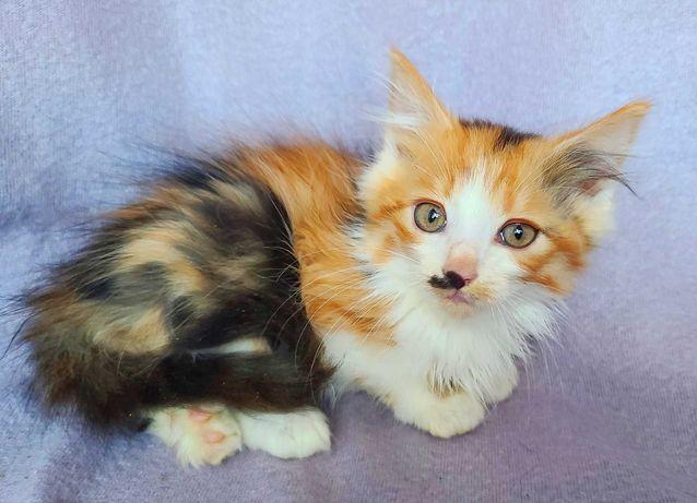 Яскраве пухнасте чудо, триколірна Лессі (2 міс.). кошка/котенок