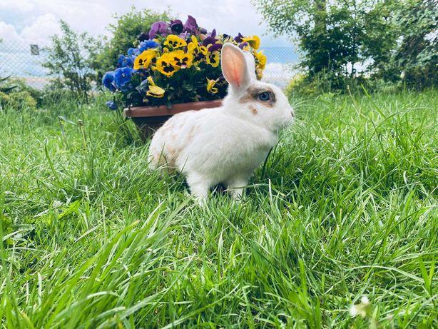 Królik króliki miniaturki miniaturka samiczka