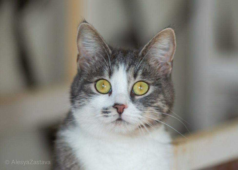 Фаня, 9 мес, кошечка, котенок, красивая кошка Киев - изображение 1