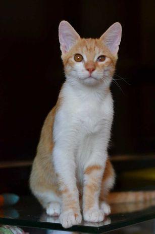 руденький котик з білою грудкою 5м