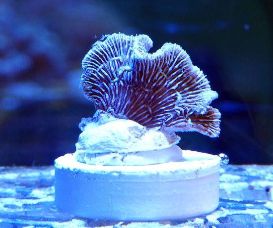 Pavona #11 akwarium morskie