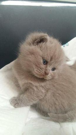 Kot brytyjski, kocieta z rodowodem