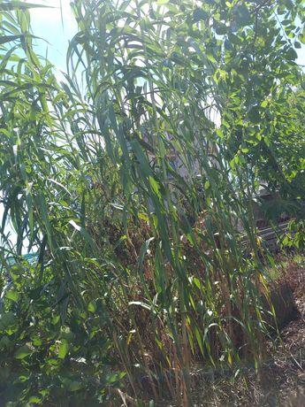 Бамбук вуличний ,уличный