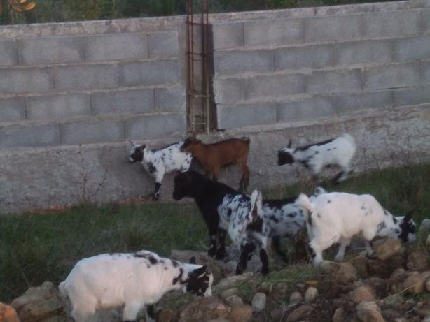 Vendo cabrinhas anãs vários casais  ou separados.