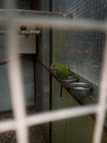 Papuga falista nierozłączka