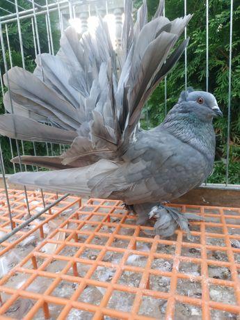Pawik indyjski pawiki indyjskie gołębie ozdobne gołąb ozdobny