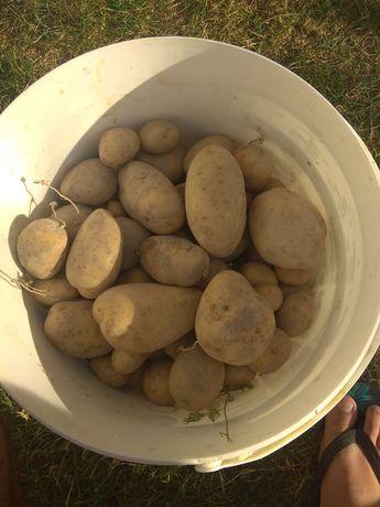 Ziemniaki jadalne Melody. Bardzo dobre! 100kg - 50zl