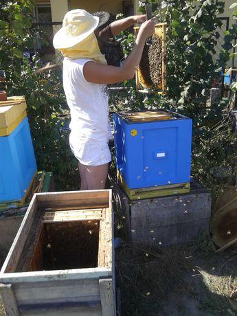 Matki pszczele Buckfast GZ unasiennione naturalnie. Wysyłka 26,27,28