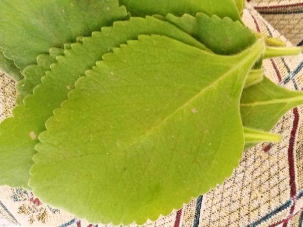 Folhas de Boldo para chá