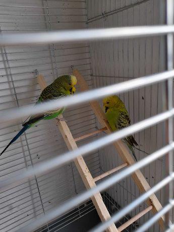 Papużki faliste - parka