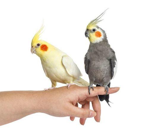 Nimfa papuga sklep zoologiczny Chorzów Czysta 4 ZooAnimals