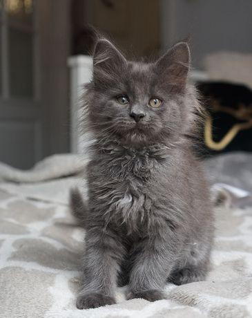 Śliczna niebieska kotka MCO z rodowodem FPL