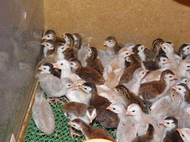 Продам домашних цыплят цесарки