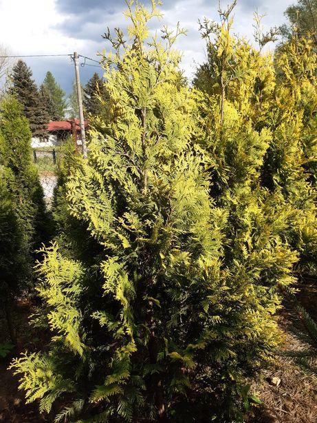 Tuja złocista, (Thuja occidentalis Aurescens) 180 cm w donicy