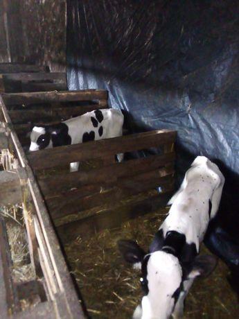 3 byczki czarno białe