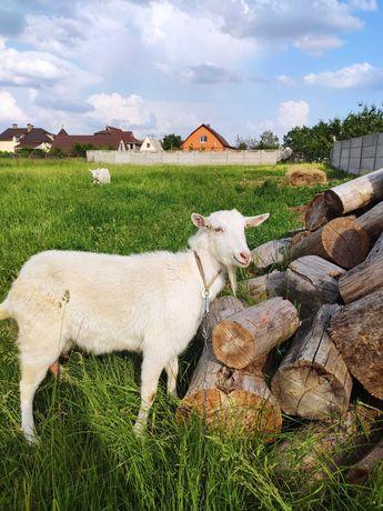 Дойная коза