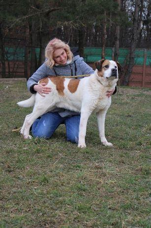 Benio, pies w typie bernardyna szuka domu