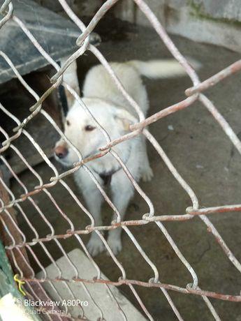 Cadela para adoção de raça Podengo português para dar