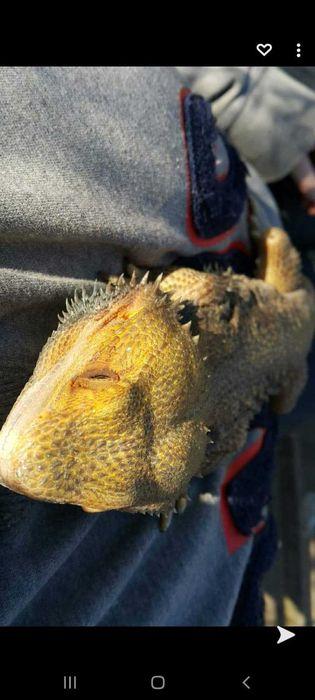 Agama brodata citrus 1,5 roku Skierniewice - image 1