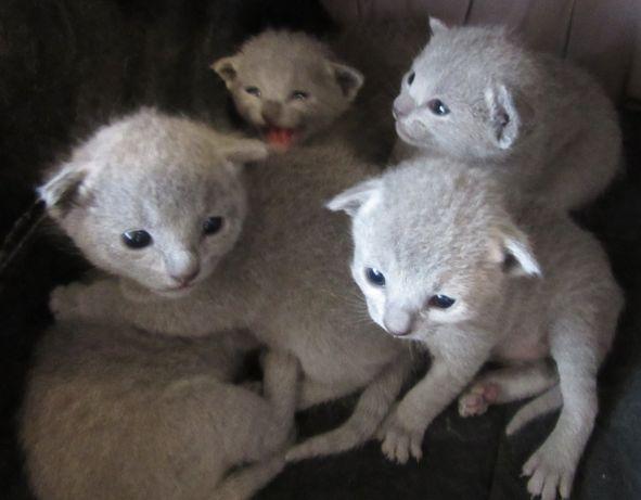 Rosyjskie niebieskie Kocięta