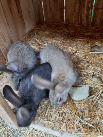 Sprzedam młode króliki samce i samuce