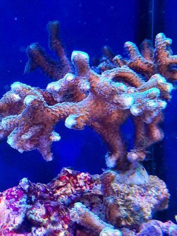 Seriatopora sprzedam lub zamienie morskie