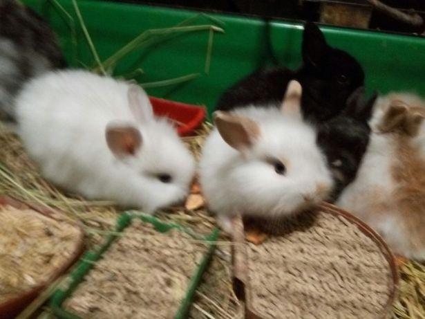 Кролики голландские