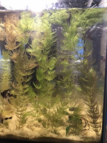 Roślina akwaryjna ROGATEK
