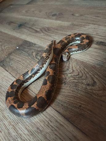 Wąż p. Zbożowy, królewski, machoniowy, lacentogłów