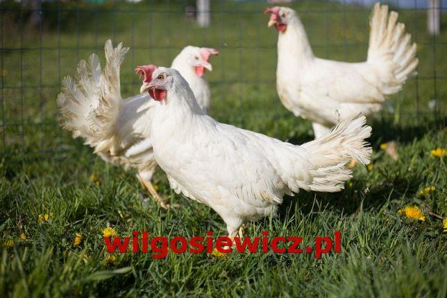Kurki kokoszki kura nioska odchowane 18 tyg