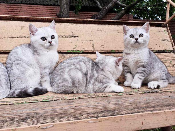 Продам шотландских прямоухих котят