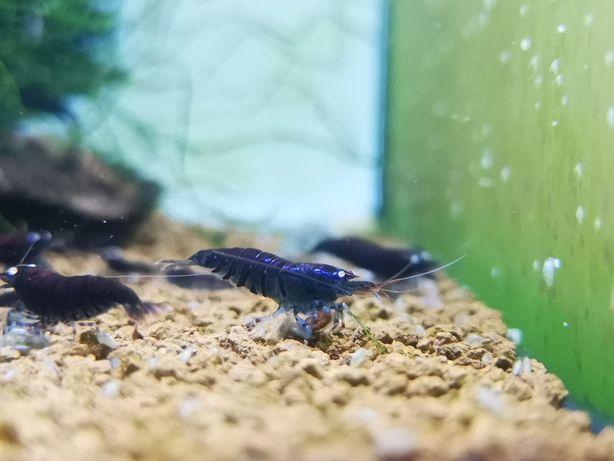 Krewetka Deep blue Tiger Krewetki Ketrab