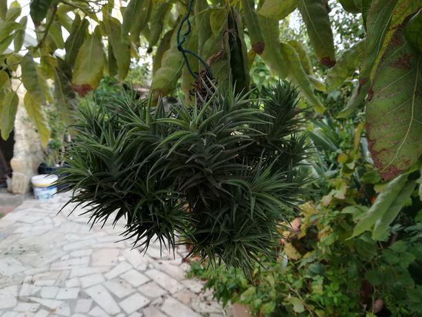 Planta aérea da madeira cravos pequenos