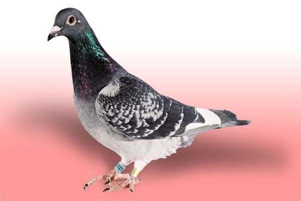 Gołębie pocztowe i ozdobne wszystkie rasy