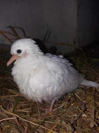 Cukrówki gołębie