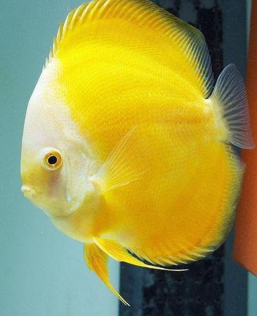 Albino Yellow Discus dyskowce paletki
