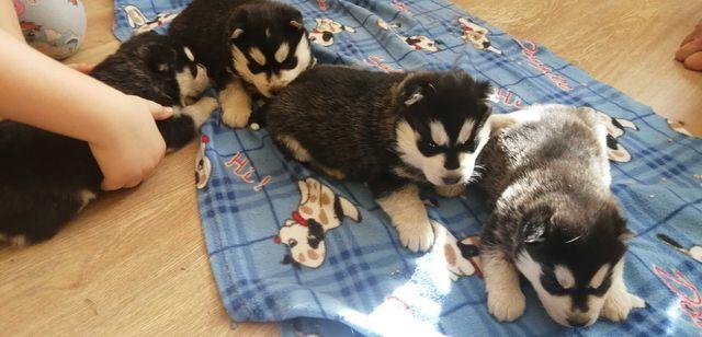 Wspaniałe szczeniaczki Siberian husky z rodowodem