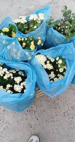 Продам хризантемы
