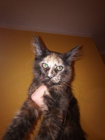 Koteczka Maine coon do adopcji