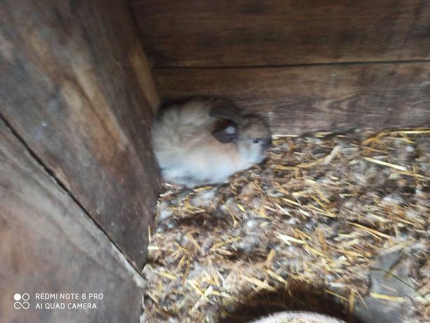 Sprzedam małe króliki