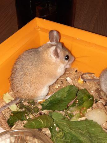 Мышееж, ежемышь, Акомис, иглистая мышь, 6+2 малыша