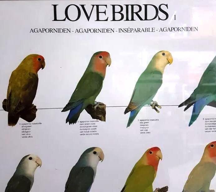 Poster de aves, passaros, nomes em varias linguas, mutações