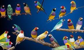 Diamantes Aves Exóticos