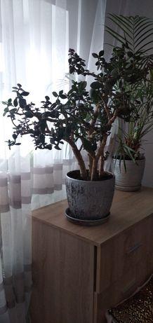 Денежное дерево или толстянка. Цветок. Зелень в дом. Уют