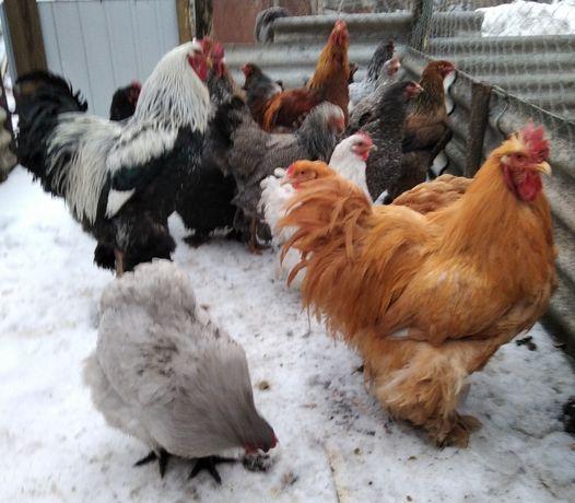 Инкубационное яйцо от смешанных крупных пород кур, по доступной цене