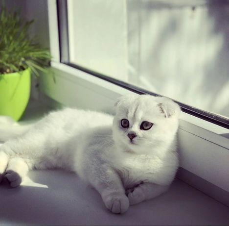 Красивые шотландские котята серебристая шиншилла