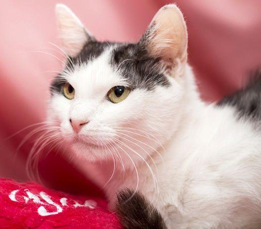 Кот - красавчик, черный с белым, 1 год Очень! хочет к тебе