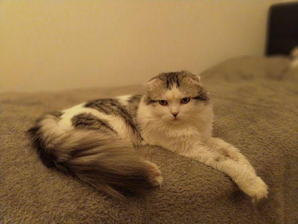 Вязка кот шотландский длинношерстный вислоухий (скотиш фолд)