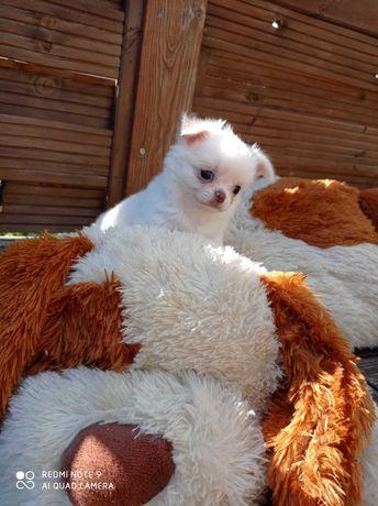 Chihuahua długowłosy mini piesek ZKwP/FCI