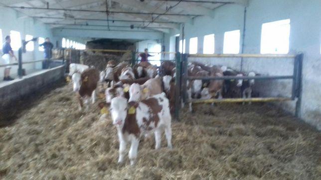 Simental 100% Byczki Mięsne Extra Forma Cielęta Świeża Dostawa